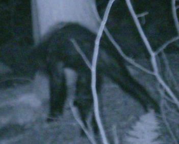 """A 2007 photo of an unidentified animal that the Bigfoot Field Research Organization claims is a """"juvenile Sasquatch"""""""